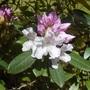 Rhododendron_hoppy