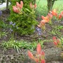 Miniature Bluebell 'woodland' corner, with Rh. Azalea Lutea (Rhododendron luteum (Common Yellow Azalea))