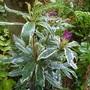 Rhododendron ponticum 'Variegatum'  (Rhododendron ponticum 'Variegatum')