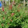 Salvia microphylla