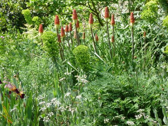 Kniphofia caulescens (Kniphofia caulescens (Red hot poker))