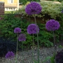 Allium_x_hollandicum_2014