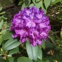 I bought this as Rhododendron Roseum Pink