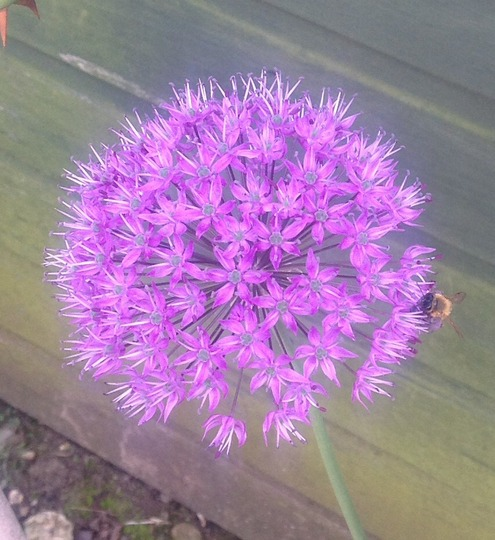 Allium with bee :)