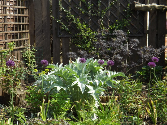 Allium Purple Sensation (Allium hollandicum 'Purple Sensation')