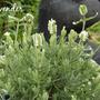 White lavender (Lavender)