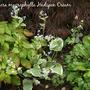 Brunnera_macrophylla_hadspen_cream
