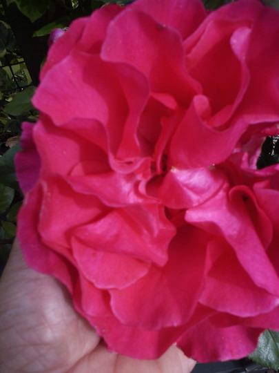 "Climbing rose ""Dreamland"""