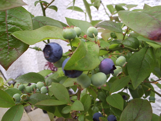 First of the Blueberries.