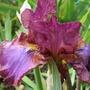 "Iris germanica ""Wrangler"" (Iris germanica (Orris))"