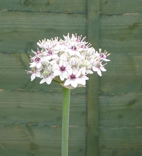 Allium nigrum - 2014 (Allium nigrum)
