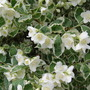 Variegated Philadelphus