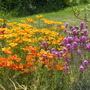 "Poppies and erysimum ""Bowles Mauve"""