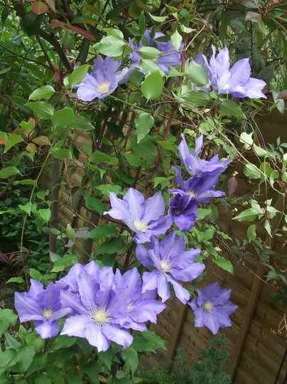 Clematis 'H.F.Young' Its prone to clematis wilt and this year is the first its produced more than the odd flower. worth the wait as its a great large flower in a lovely mid blue. (Clematis H.F.Young)