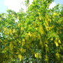 Laburnum × watereri 'Vossii' much earlier this year its usually just coming out now and this has been out for 3-4 weekss  (Laburnum vossii)