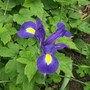 Iris_blue_magic_