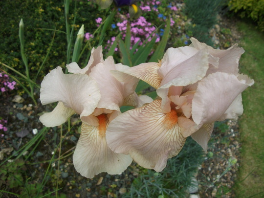 Iris Bearded Nel Jape (Iris Bearded)