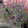 French Lavender Pot