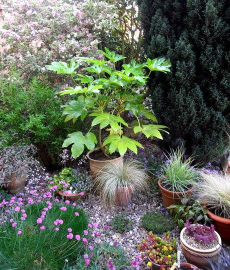 Fatsia Pot (Fatsia japonica)