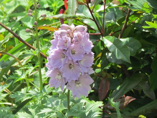 Delphinium ( Cherry Blossom )