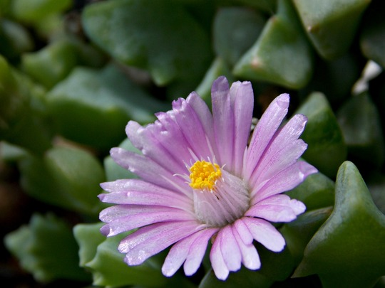 Succulent flower - Oscularia deltoides