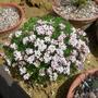 Asperula gussonii (Asperula gussonii)