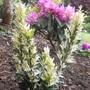 """euonymus japonica """"Paloma Blanca"""""""
