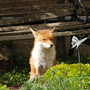 Fox that lives under the shed