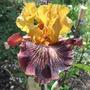 Bearded iris Bronco Down (Iris germanica)