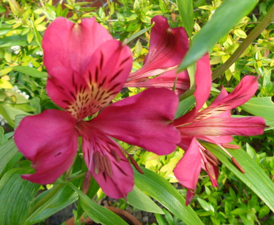 Alstroemeria 'Purple Rain'  (Alstroemeria 'Purple Rain')