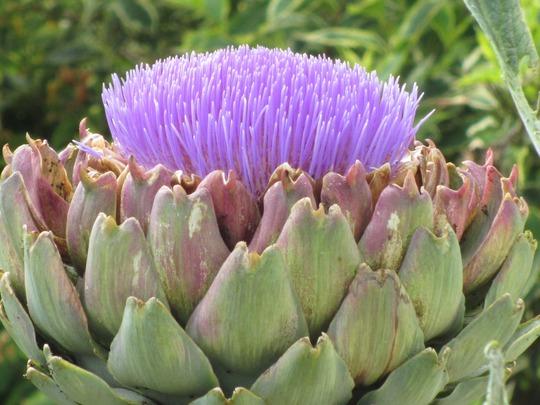 Artichoke flower head (Cynara scolymus)
