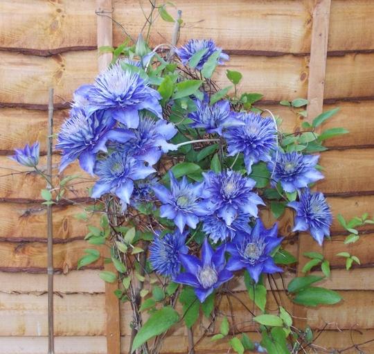 clematis multi blue grows on you. Black Bedroom Furniture Sets. Home Design Ideas