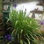 Iris laevigata (Rabbit ear Iris)