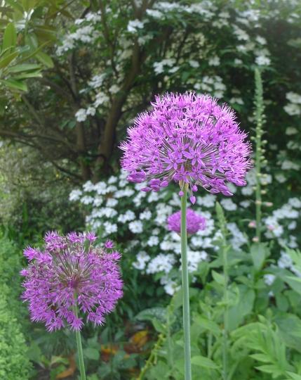 Allium 'Purple Sensation' - 2014 (Allium 'Purple Sensation')