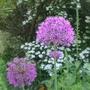 Allium_purple_sensation_2014
