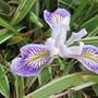 Californian Iris in a Bamboo nest (Pleioblastus variegatus  Syn Arundinaria fortunei)