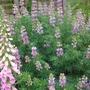 Tree lupin - Lupinus arboreus (Lupinus arboreus (Tree lupin))
