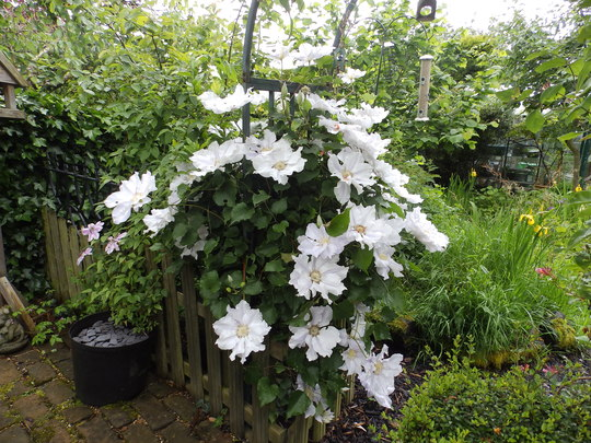 Clematis-Ice Blue