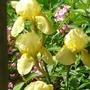 Scented yellow Iris (Iris)