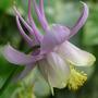 Aquilegia longissima (Longspur Columbine)