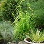 Grasses for damp shade (Millet)
