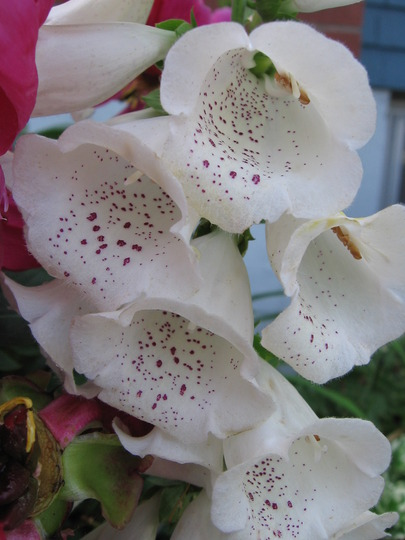 white foxglove (Digitalis purpurea (Common foxglove))