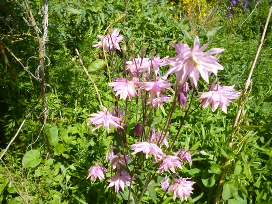 Clematis flower form (Aquilegia sp)