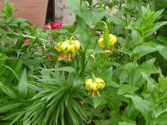 Lilium pyrenaicum (Lilium pyrenaicum)