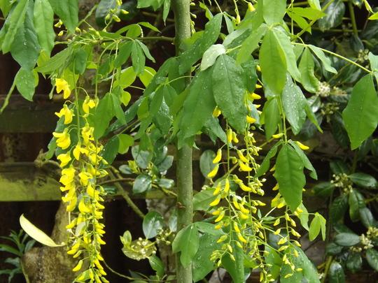 Laburnum x watereri Vossii (Laburnum x watereri (Golden rain))