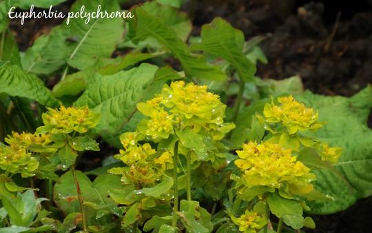 Euphorbia polychroma (Euphorbia polychroma)