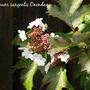 Viburnum sargentii Onondaga (Viburnum sargentii)