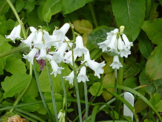 unknown bulb (Brimeura amethystina 'alba')