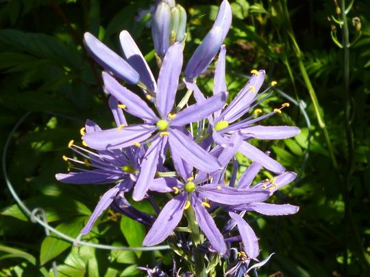 Camasia (Camassia quamash (Quamash))