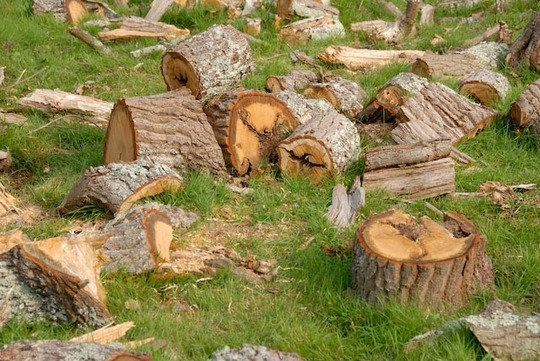 Dead Oak wood ready to give warmth